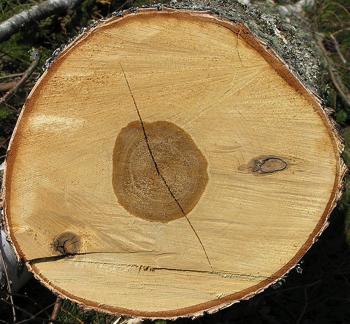 birch wood types uses study com