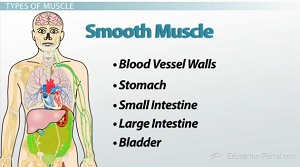 Skeletal system and muscular system video lesson transcript skeletal 3 ccuart Gallery