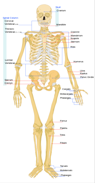 Human Skeletal System Lesson for Kids | Study.com