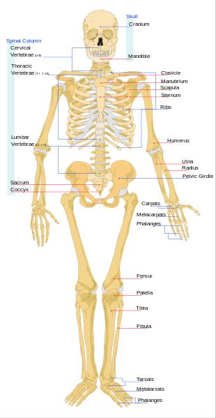 Human Skeletal System Lesson for Kids | Study.com