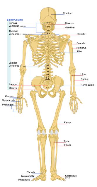 Human Skeleton Anatomy Activity Craftbrewswagfo