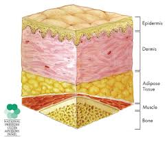 adipose tissue: function, location & definition - video & lesson, Human Body