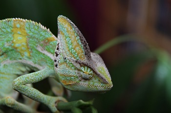 Chameleon Adaptations Lesson for Kids Studycom