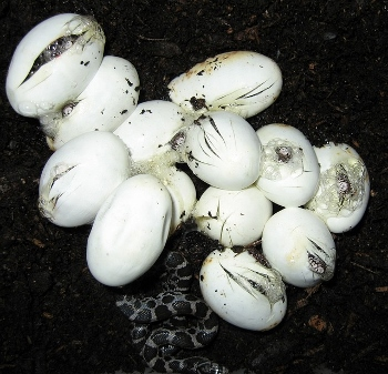 Snake eggs hatching