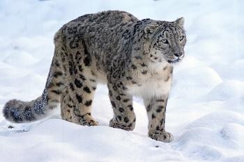 Lesson Plans The Snow Leopard