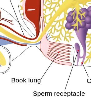 Arachnid Respiratory System: Organs & Structure | Study.com