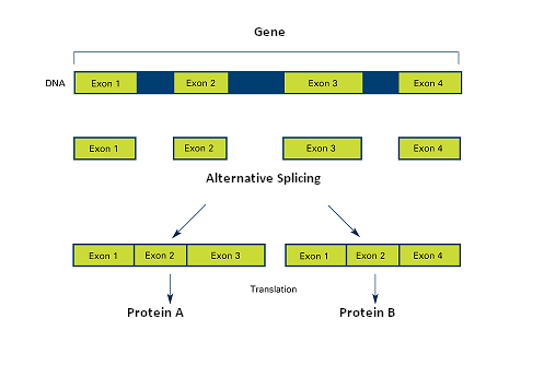 alternative splicing of genes: definition, mechanism & regulation