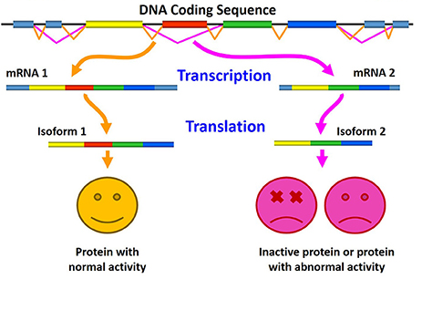 alternative splicing With just 20,000 genes but more than 100,000 proteins, human beings have become increasingly unique because of alternative rna splicing in evolution.