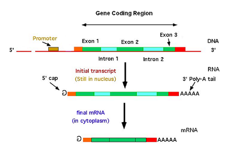 transcription of RNA