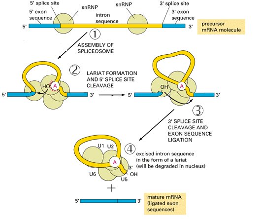 spliceosome formation