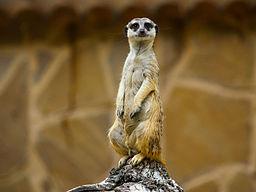 Meerkat Facts: Lesson for Kids   Study.com