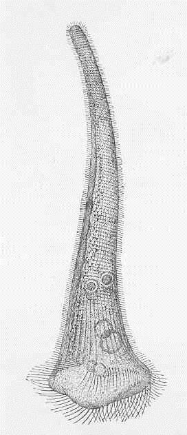 Stentor Protist  Reproduction  Anatomy  U0026 Habitat
