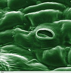 Stomata are openings on the bottom of leaves that let in carbon dioxide and close during the night