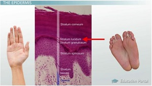 human skin: layers, function & structure - video & lesson, Cephalic Vein