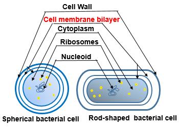 Do Bacteria Have a Cell Membrane? | Study.com