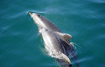 a mother dolphin and calf swimming close together