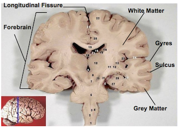 Superficial Structures of the Forebrain