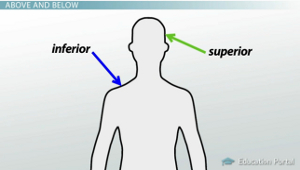 Anatomical Directional Terminology: Anterior, Posterior and More ...