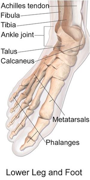 Anatomy of the Talus Bone | Study.com