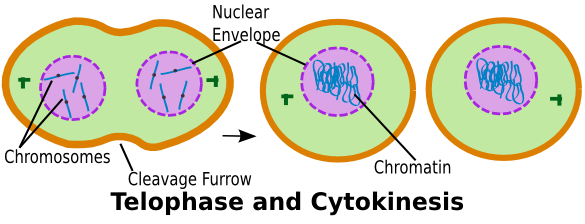 relationship between telophase and cytokinesis 1