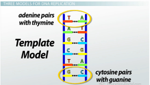 What is dna replication conservative semi conservative the double helix model of dna pronofoot35fo Image collections