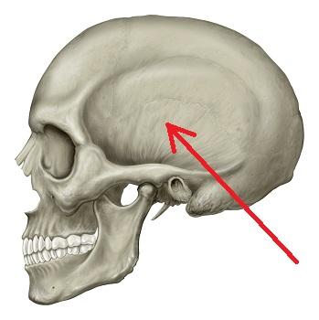 Temporalis Muscle: Action, Innervation & Origin | Study.com