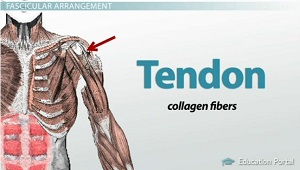Tendon Diagram