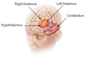 Deep structures of the Forebrain