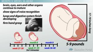 Third Trimester Fetal Development - Video & Lesson Transcript ...