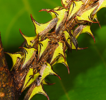 Thorn Bugs on A Stem