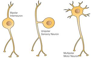 types of neurons caption=