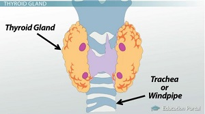 The Thyroid Gland: Functions, Calcitonin & TSH - Video & Lesson ...