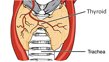 Thyroid diagram