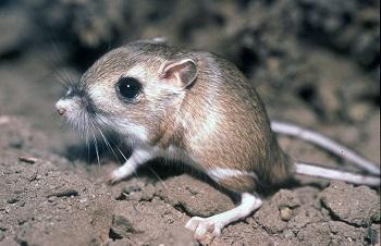 Desert Animals: Lesson for Kids   Study com