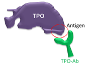Antibodies bind part of TPO they recognize