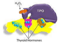 TPO aids in the formation of thyroid hormones