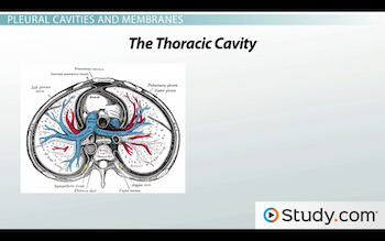 transverse section of thoracic cavity