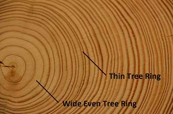 Insect Tree Rings