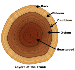 diagram of tree trunk diagram palm tree trunk