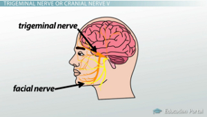 Cranial nerves of the face and mouth motion and sensation trigeminal nerve diagram ccuart Image collections