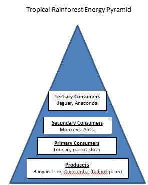 Kelp forest energy pyramid