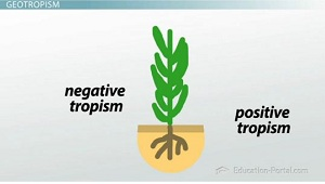 Roots as example of geotropism