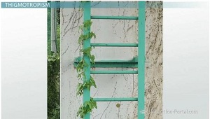 Vines as example of thigmotropism