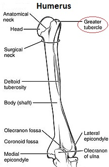 greater tubercle