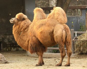 Facts About Camels: Lesson for Kids | Study.com