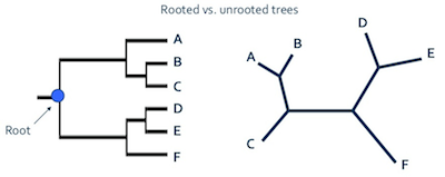 Phylogenetic tree definition types study an example of a rooted and unrooted phylogenetic tree ccuart Image collections