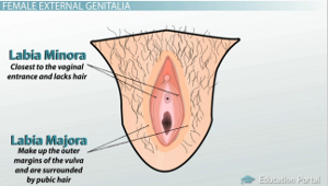 External anatomy of the female reproductive system video lesson vaginal labia types ccuart Choice Image