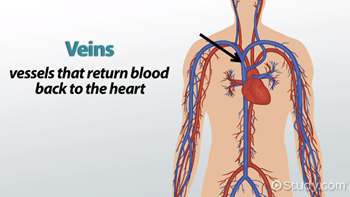What are Veins? - Functions & Explanation - Video & Lesson ...