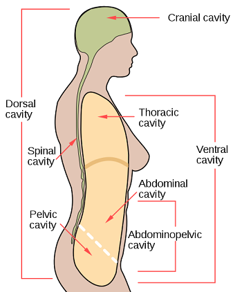 Ventral Body Cavity Definition Subdivisions Organs Study