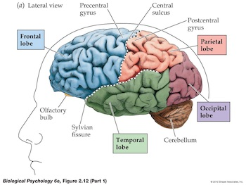 Image of areas of the brain